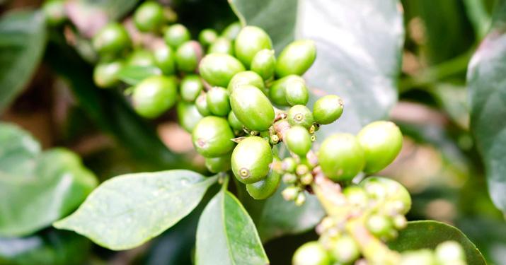 gröna kaffebönor apoteket